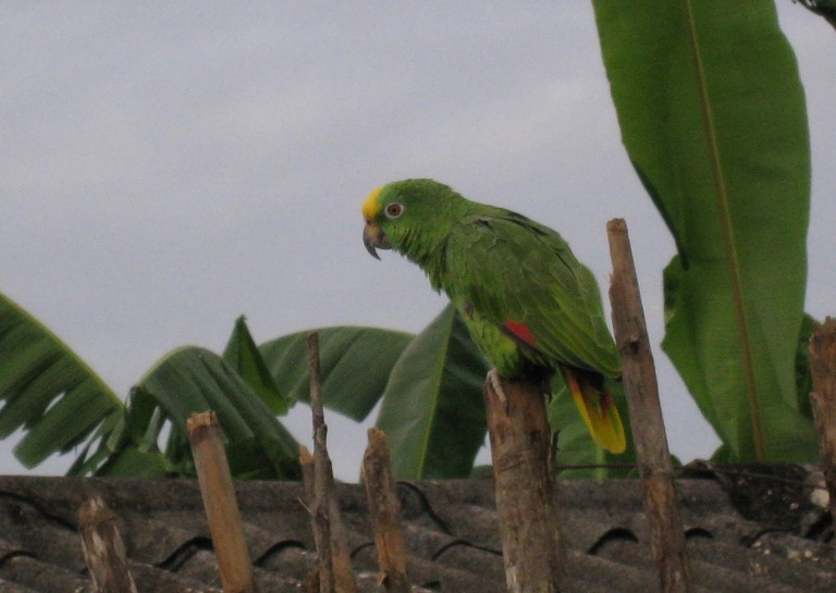 Amazona_ochrocephala_-Ukupseni,_Panama-6.jpg