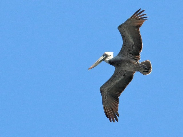 Brown_Pelicans_Colon_Panama_0761_cr_enh_WC.jpg