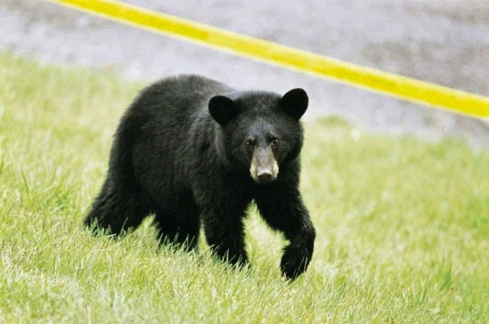 bear_black