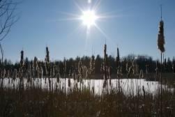 Greenbelt_Trail_JackPine_Scenic_Winter_Cattail_HRN_0035