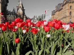 Ottawa-Tulip-Festival