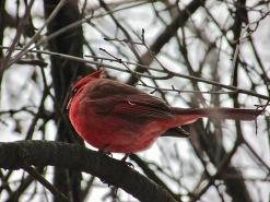 parc-gatineau-oiseau-rouge