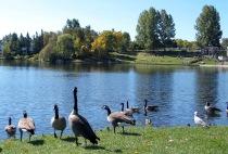 photo-animals-12-geese-2004-09-26-42-RIDEAU-CANOE-CLUB-AT-MOONY'S-BAY-OTTAWA-ONTARIO