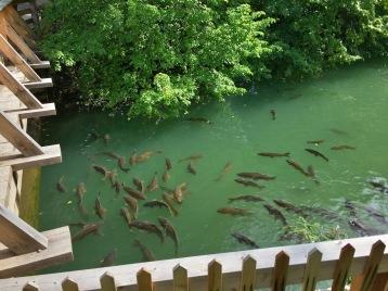 Fish,_Upper_Canada_Village_(30473605876)