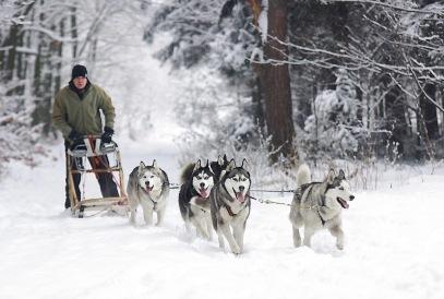 husky_sled_dogs_adamczak-667654.jpg!d