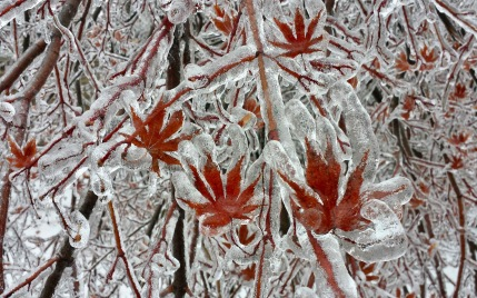 A layer of ice coats the leaves of a Japanese maple tree after an ice storm in Toronto December 22, 2013. REUTERS/Chris Helgren (CANADA - Tags: ENVIRONMENT)