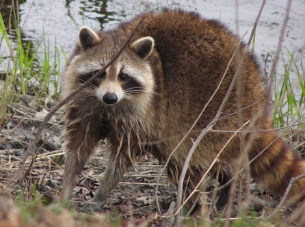 Raccoon,_female_after_washing_up 2