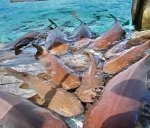 Bahamas, Nager Requins