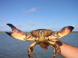 Bahamas, Stone Crab