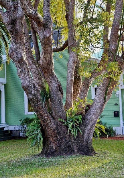 Apalachicola, arbre 3