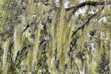Carolmine, Spanish Moss