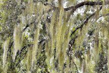 Carolmine, Spanish Moss