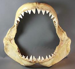 Machoire requin, Fl.