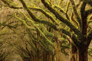 Savannah Spanish Moss